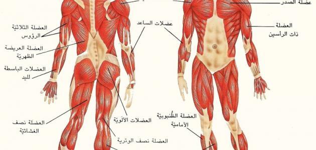 صورة أنواع العضلات