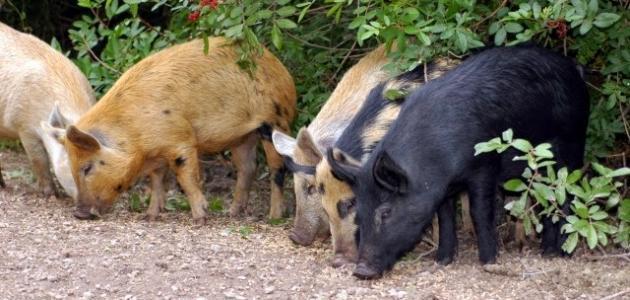 صورة جديد اسم صغير الخنزير