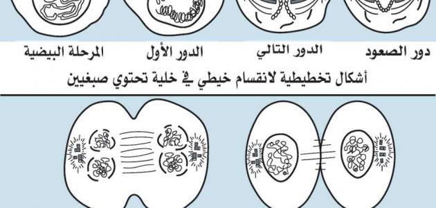 صورة جديد مراحل انقسام الخلية