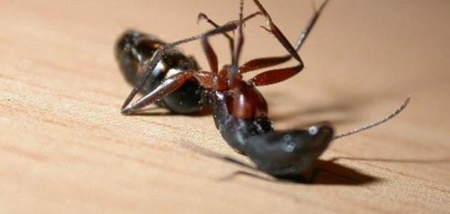 صورة جديد عجائب وغرائب النمل