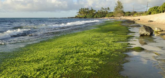 صورة جديد أهمية الطحالب
