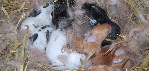 صورة جديد كيف يولد الأرنب