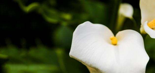صورة جديد أضرار نبتة اللوف