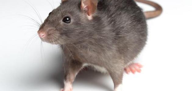 صورة جديد أين تعيش الفئران