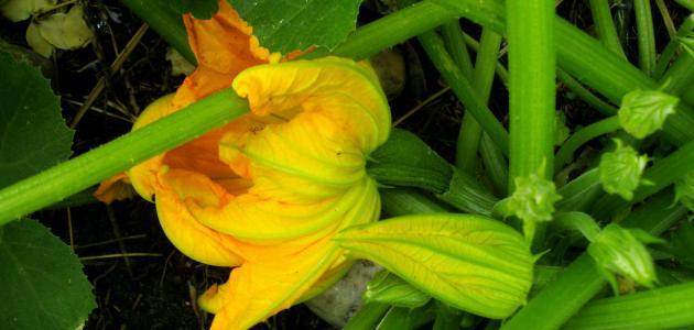 صورة جديد كيفية زراعة الكوسا