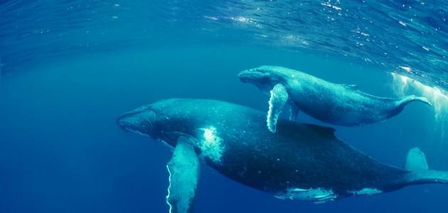 صورة جديد بحث عن غرائب الحيتان