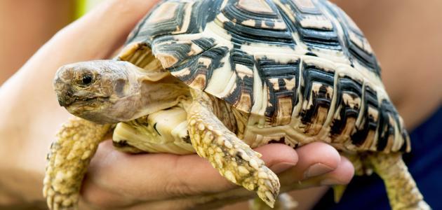 صورة جديد تربية السلاحف البرية