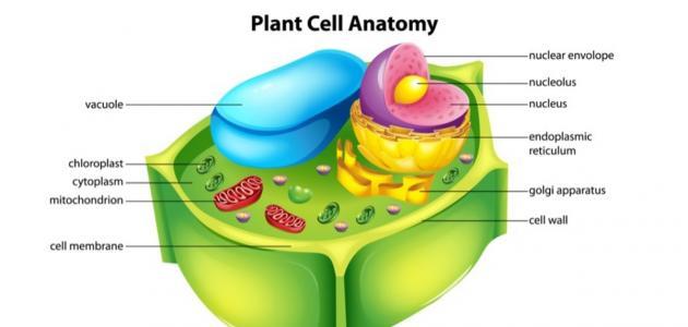 صورة جديد مكونات الخلية النباتية ووظائفها