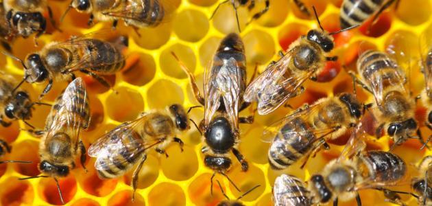صورة جديد مملكة النحل