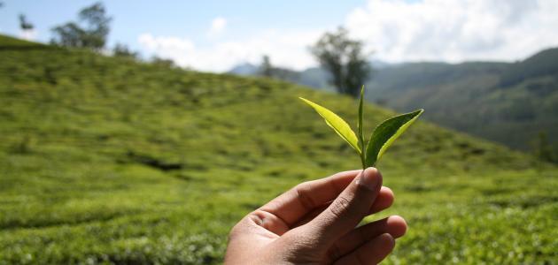 صورة جديد كيف اكتشف الشاي