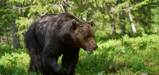 صورة جديد ما اسم صغير الدب