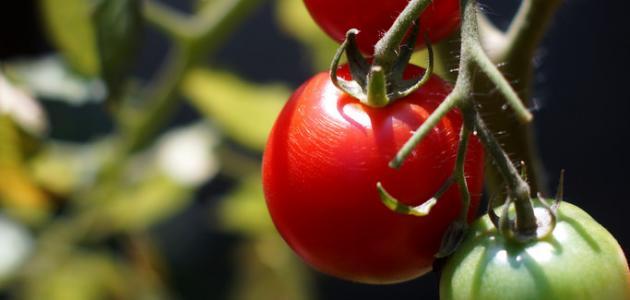 صورة جديد كيف تتم زراعة الطماطم