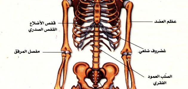 صورة جديد مقال علمي عن الجهاز العظمي