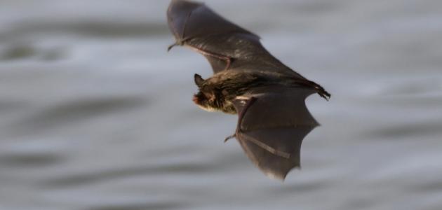 صورة جديد كيف يولد الخفاش