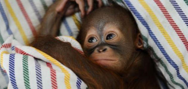 صورة جديد اسم صغير القرد