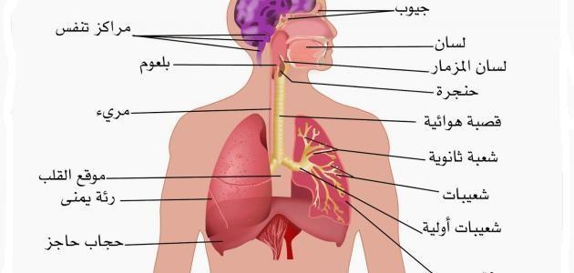 صورة جديد بحث حول الجهاز التنفسي