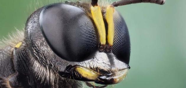 صورة جديد كم عدد عيون النحلة