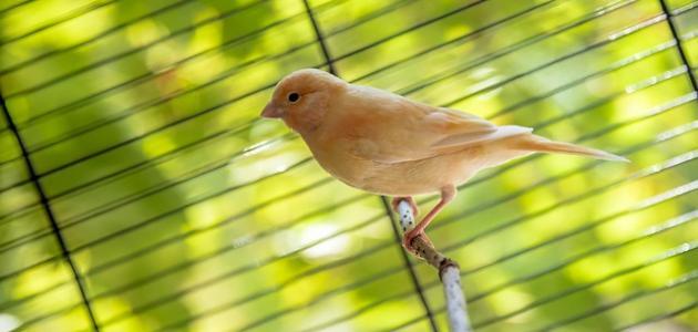 صورة جديد كيفية تربية عصافير الكناري