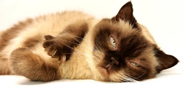 صورة جديد كيفية التخلص من براغيث القطط