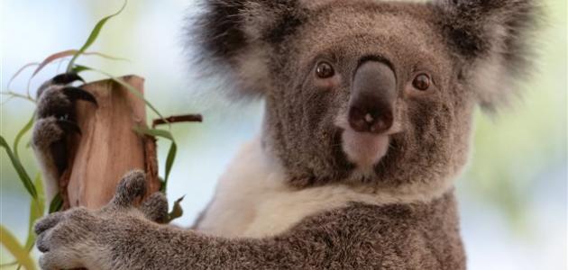 صورة جديد أين يعيش دب الكوالا