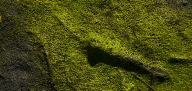 صورة جديد ما أهمية الطحالب للإنسان