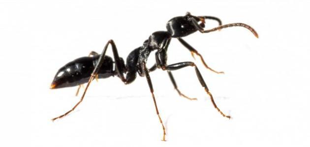 صورة جديد مم يتكون جسم النملة