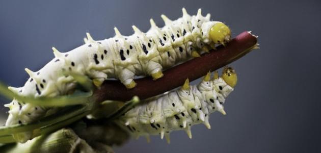 صورة جديد صناعة الحرير من دودة القز