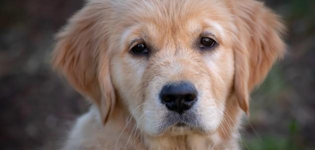 صورة جديد كيفية التخلص من براغيث الكلاب