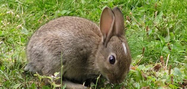 صورة جديد ما اسم أنثى الأرنب