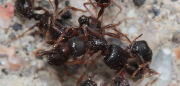 صورة جديد كيف يعيش النمل