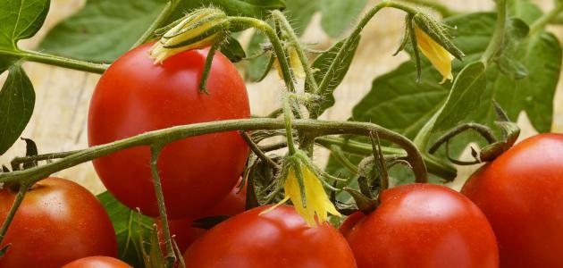 صورة جديد كيف نزرع الطماطم من البذور