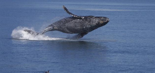 صورة جديد ماذا يغطي جسم الحوت