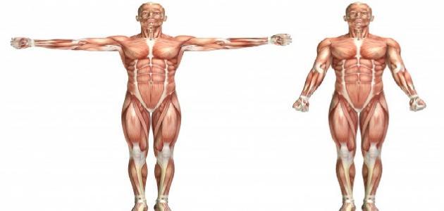 صورة جديد بحث عن الجهاز العضلي