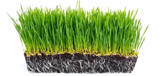 صورة جديد فوائد عشبة القمح