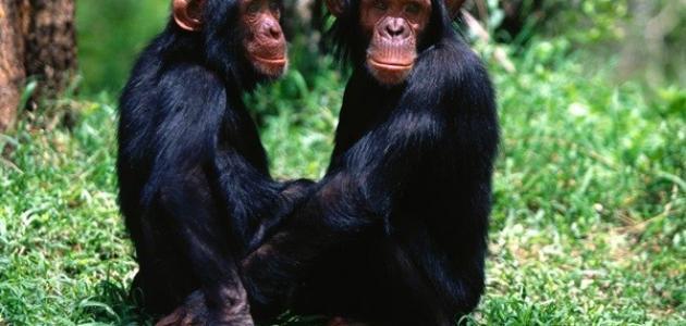 صورة جديد أنواع القرود