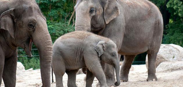 صورة جديد كم يبلغ وزن الفيل