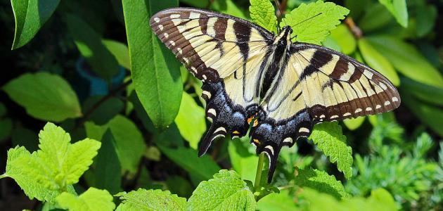 صورة جديد دورة حياة الفراشة