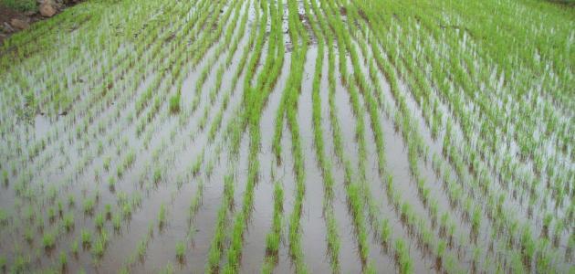 صورة جديد كيفية زراعة الأرز