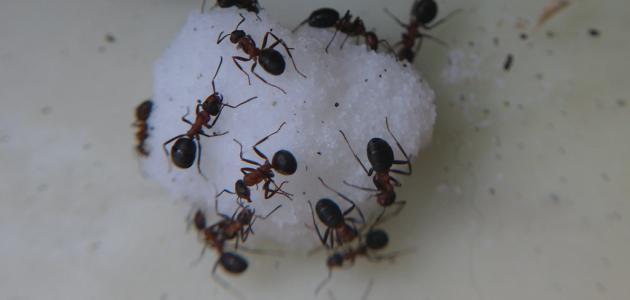 صورة جديد التخلص من نمل السكر