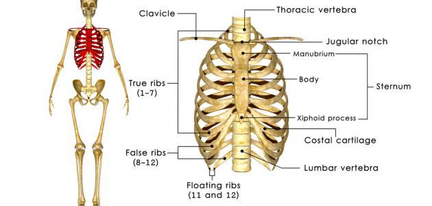 صورة جديد كم عدد عظام القفص الصدري للإنسان