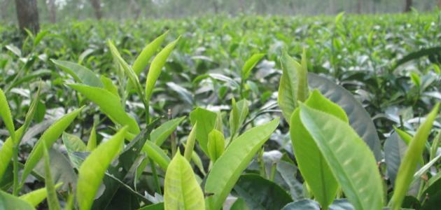 صورة جديد فوائد الشاي الأخضر للشعر