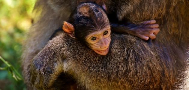 صورة جديد كيف يولد القرد