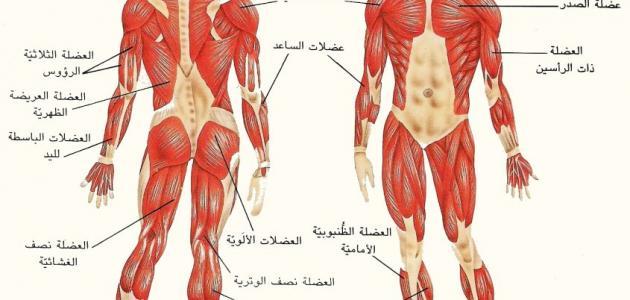 صورة جديد ما عدد عظام جسم الإنسان