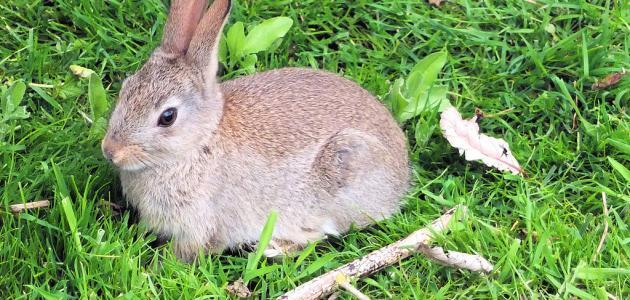 صورة جديد ما هو اسم صغير الأرنب