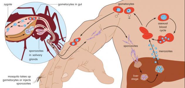 صورة جديد مرض الملاريا