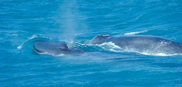 صورة جديد كم يبلغ وزن لسان الحوت الأزرق