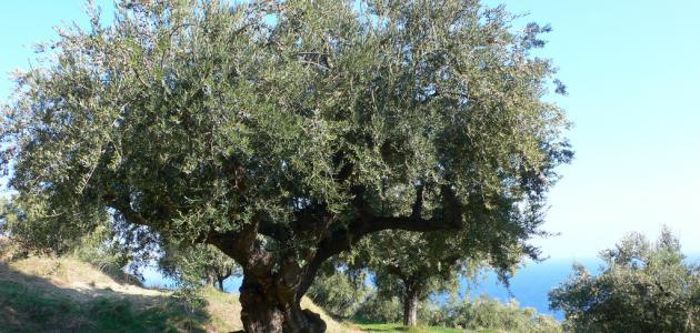 صورة جديد شجرة الزيتون في فلسطين