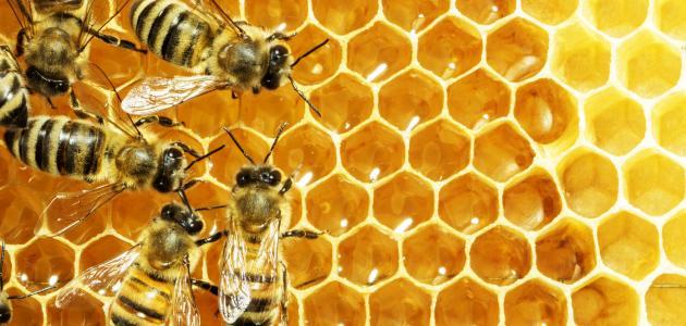 صورة جديد لماذا يصنع النحل العسل