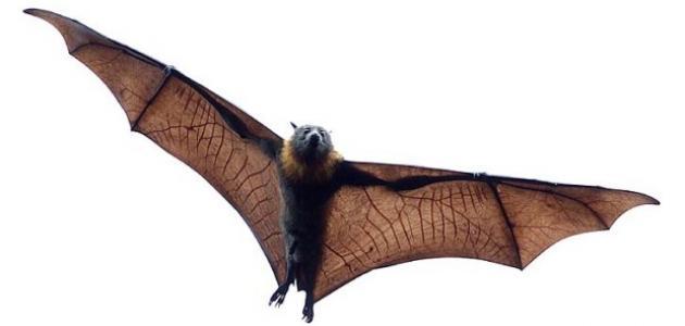 صورة جديد ما هو الخفاش