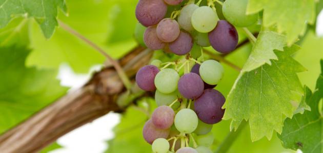 صورة جديد طريقة حفظ ورق العنب فى الفريزر